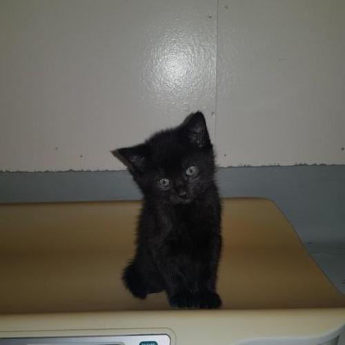 Herbie - Domestic Short Hair Cat