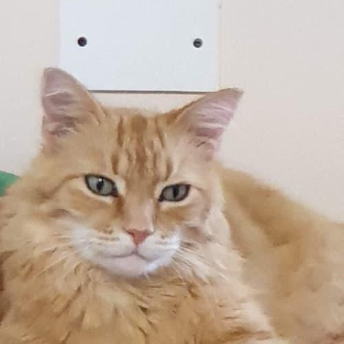 Zimba - Domestic Medium Hair Cat