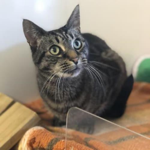 Crackers - Domestic Short Hair Cat