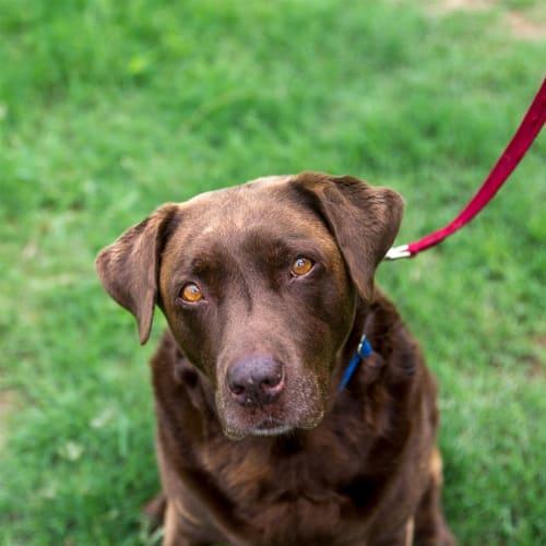 Milly - Labrador Dog