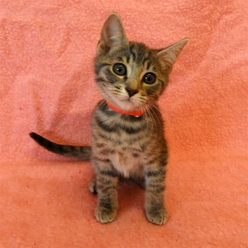 Destiny - Domestic Short Hair Cat