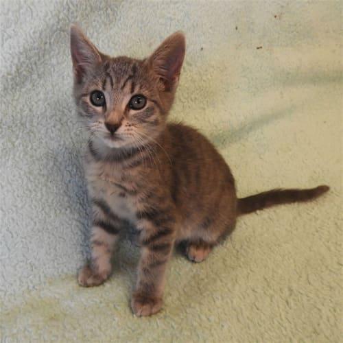 Sienna - Domestic Short Hair Cat