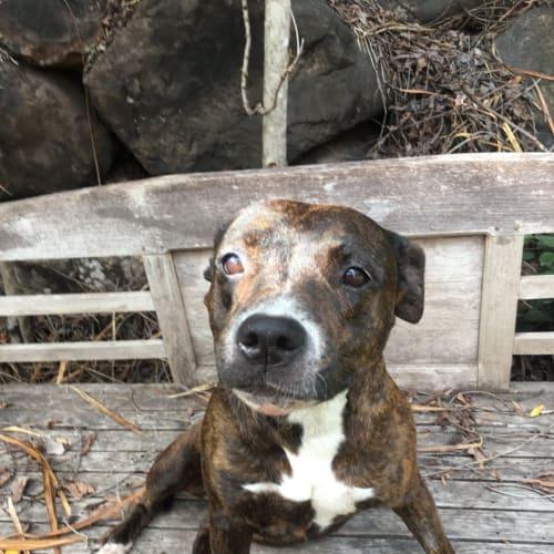 Millie - Staffy Dog
