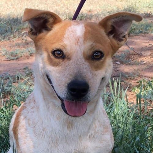 Lunar - Australian Cattle Dog x Jack Russell Terrier Dog