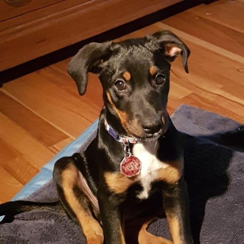 Puppy Nellie DL2387 - Kelpie Dog