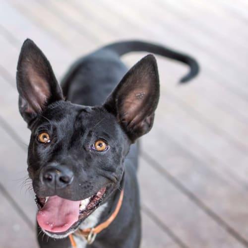 Kelly - Kelpie Dog