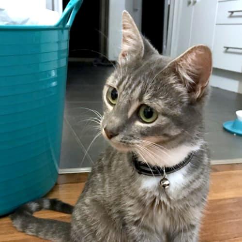 Posie - Domestic Short Hair Cat