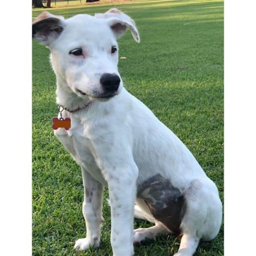 Pippa - Kelpie x Wolfhound Dog