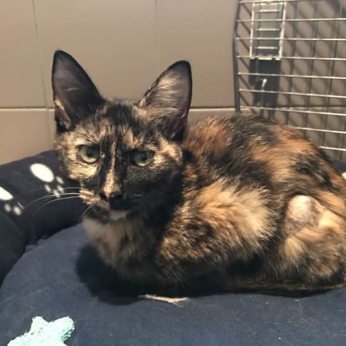 Clara Jezeroon - Domestic Short Hair Cat