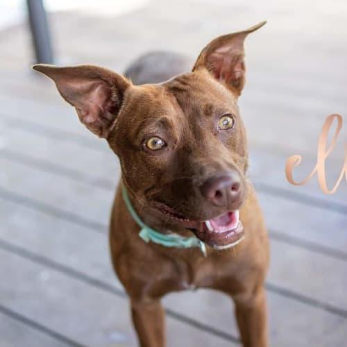 Ella - Kelpie Dog
