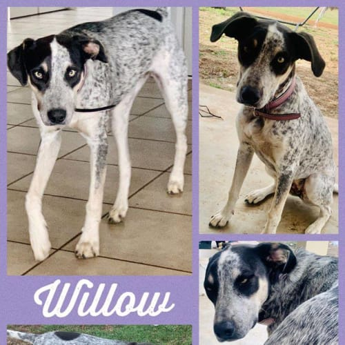 Willow - Pointer x Cattle Dog