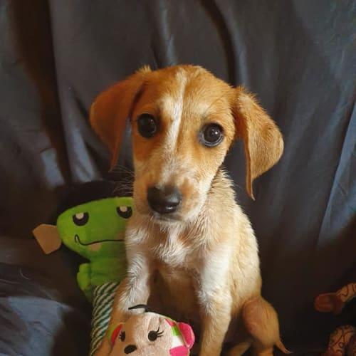 Phoebe - Maremma Sheepdog x American Staffordshire Bull Terrier Dog