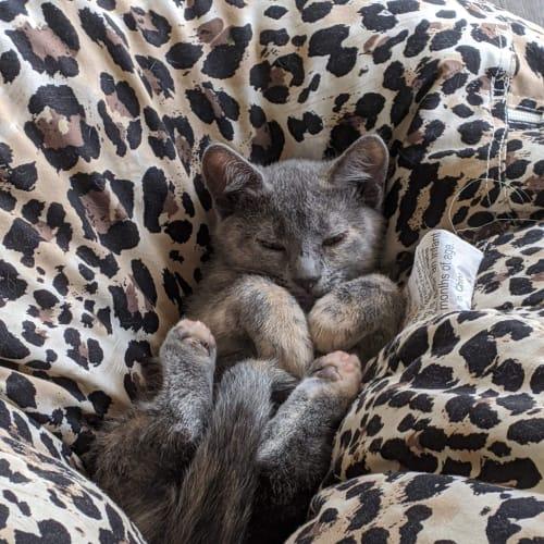 Helen (Applications Closed) - Domestic Short Hair Cat
