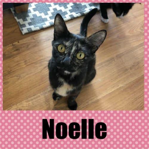 Noelle - Domestic Short Hair Cat