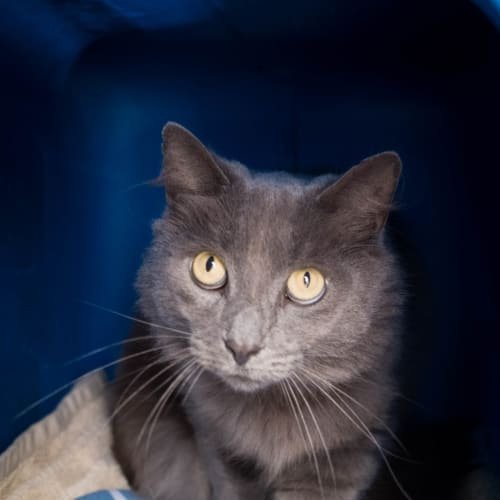 George - Domestic Medium Hair Cat