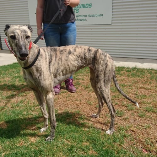 Betty - Greyhound Dog