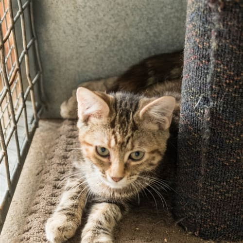 Chase - Domestic Short Hair Cat