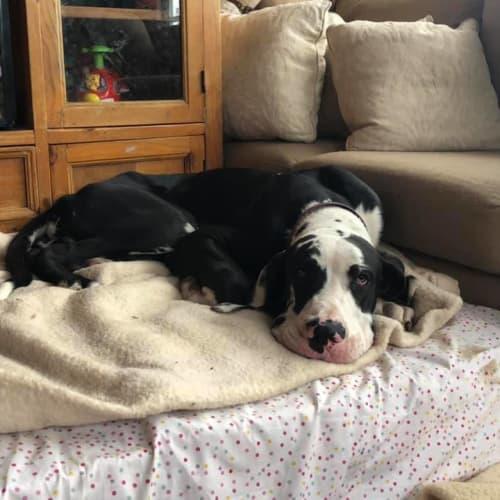 Texas - Great Dane Dog
