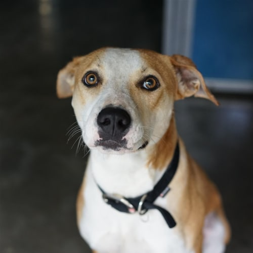 Maggie - Australian Cattle Dog x English Staffordshire Bull Terrier Dog