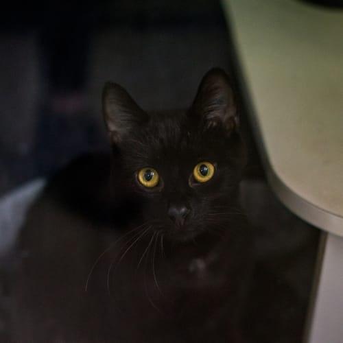 Bruce - Domestic Short Hair Cat