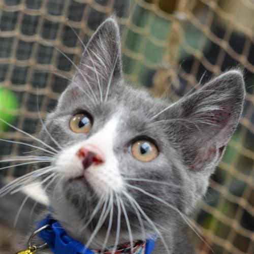 Tinky - Domestic Short Hair Cat