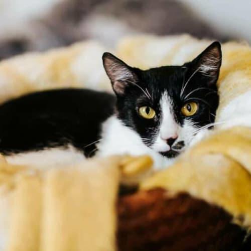1835 – Dashi - Domestic Short Hair Cat