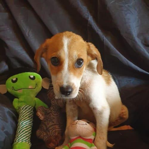 Murray - Maremma Sheepdog x American Staffordshire Bull Terrier Dog