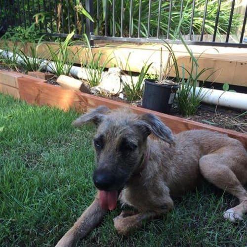 Humphrey - Irish Wolfhound x Mixed Breed Dog