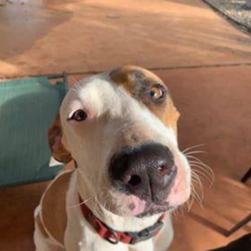 Indy - Bull Arab x Great Dane Dog