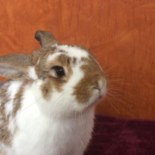 Moss - Dwarf lop Rabbit
