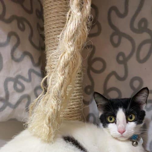 Eva - Domestic Short Hair Cat