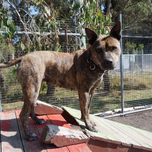 Rosie - Staffordshire Bull Terrier Dog