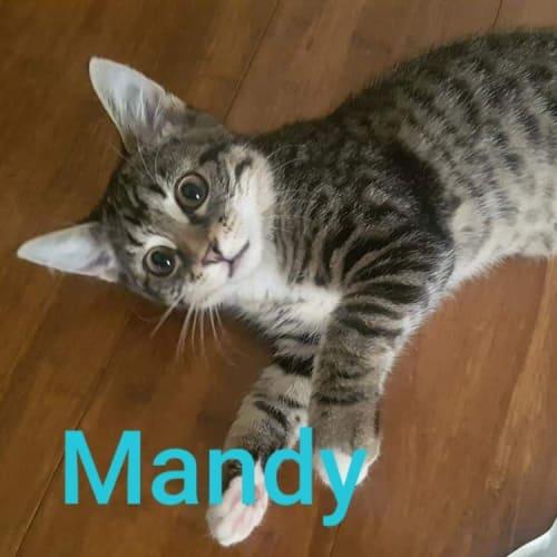 Mandy - Domestic Short Hair Cat