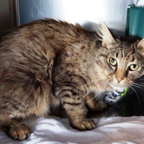 Berty - Domestic Medium Hair Cat