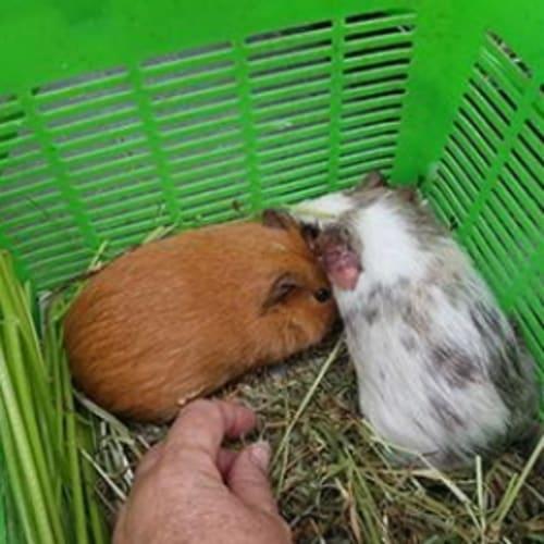 Pumpkin (Buddy of Butternut) - Smooth Hair Guinea Pig