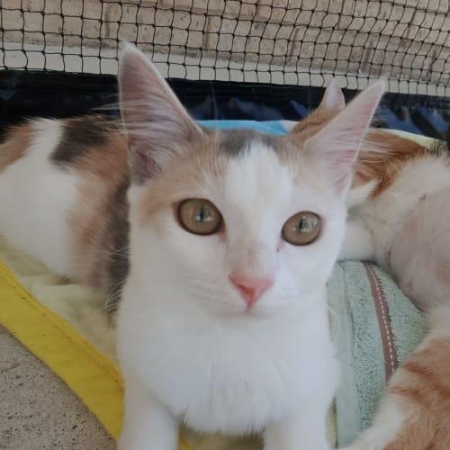 Sybil - Domestic Short Hair Cat