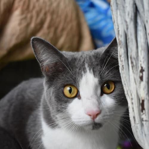 Tui - Domestic Short Hair Cat