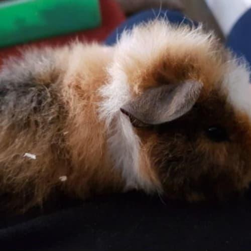 Cotton Floss - Rex Guinea Pig