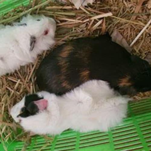 Dazzle - Smooth Hair Guinea Pig