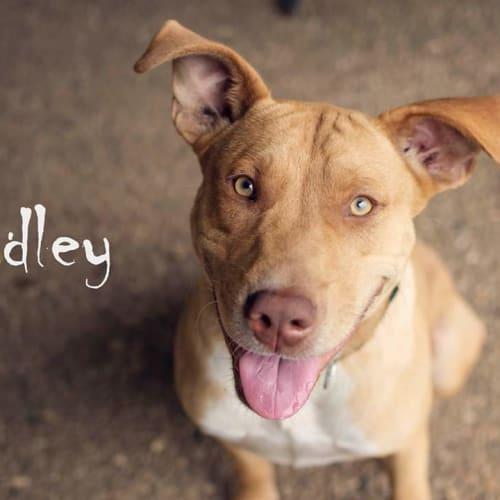 Dudley - Ridgeback Dog