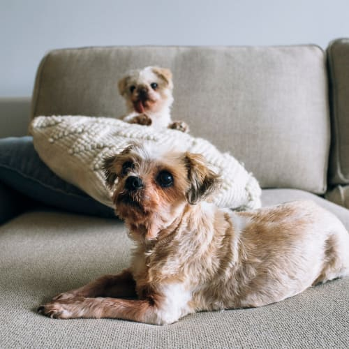 Tia and Lulu - Shih Tzu Dog