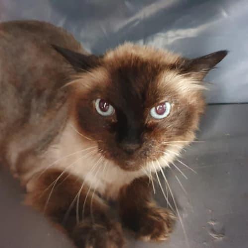 Ragdoll Boy  - Ragdoll Cat