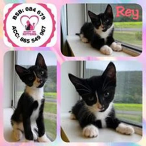 Rey - Domestic Short Hair Cat
