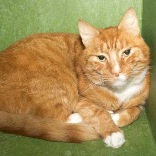 Tom  936749 - Domestic Short Hair Cat