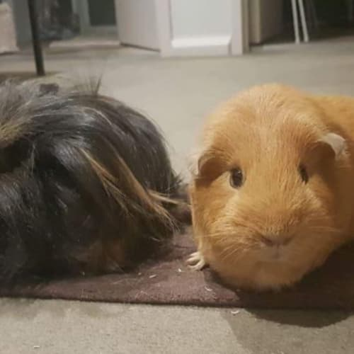 Kendrick (Buddy of Dotori) - Sheba Mini-Yak Guinea Pig