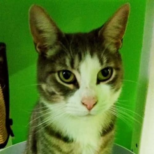 Floyd 937917 - Domestic Short Hair Cat