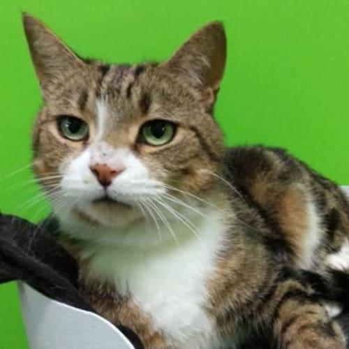 Mowgli 937918 - Domestic Short Hair Cat