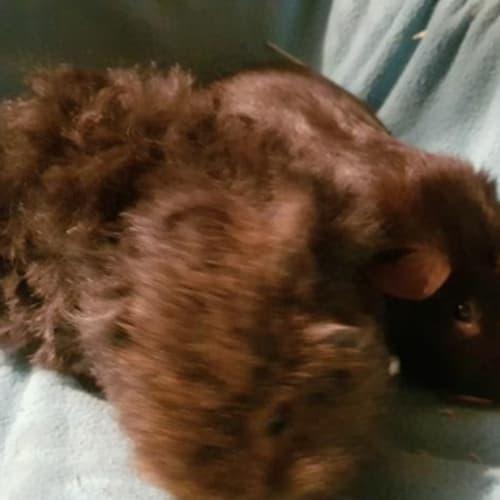 Milo (Buddy of Fudge) -  Guinea Pig
