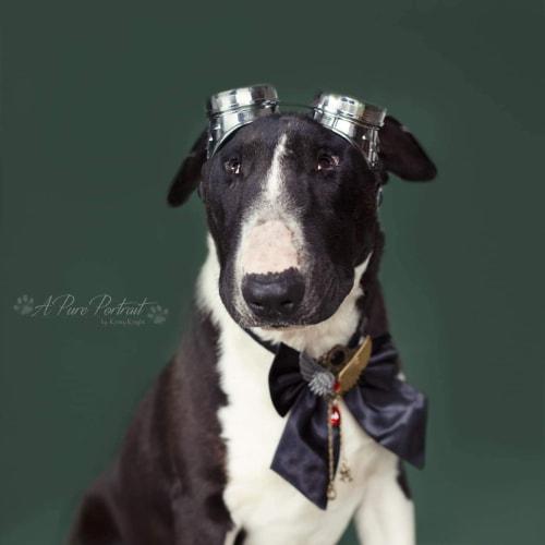 Zach (23.5kg) - Bull Terrier Dog