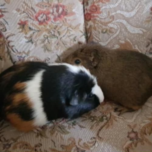 Peppa (Buddy of Noddy) - Smooth Hair Guinea Pig